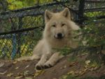 North American Arctic Wolf 46 by animalphotos