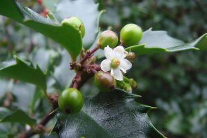 Holly Flower by asaph70