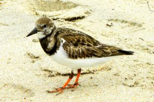Sand Piper by flowerhippie22