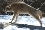 Coyote Stock 9: Stretch by HOTNStock