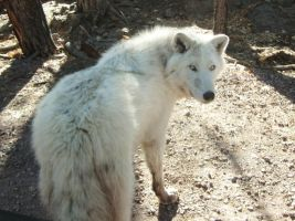 Timber Wolf by I-Heart-Photos