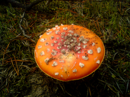 Fly agaric by Liwera