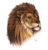 Male lion by Liedeke