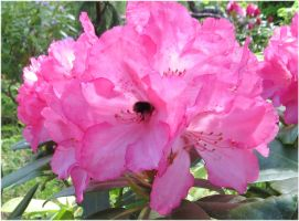 Rhododendron 15 and the bumblebee butt by Kattvinge