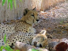 Lazy Cheetahs by HDevers