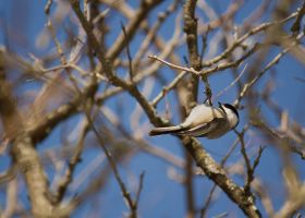 Black Capped Chickadee: 2014 - March by toshema