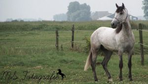 Lusitano Stock by MSFotografie