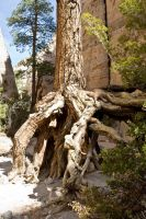 Roots Among the Tent Rocks by tmulcahy