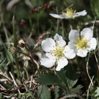 Strawberry blossoms by SpencerCameron