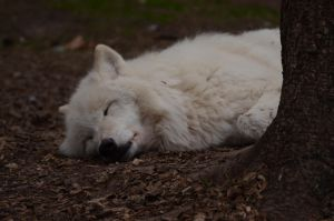 Arctic Wolf 10 by Lakela