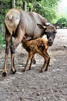 Wapiti:  Mom and Calf by basseca