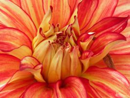 Drooling Dahlia 1 by JanuaryGuest