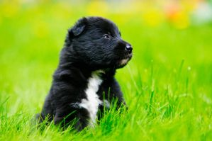 Groenendael puppy by blackmaster111