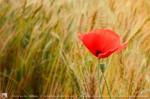 Red Poppy by MrHighsky