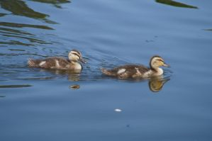 Two Baby Ducks Together On The Water by AquaVixie