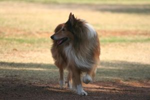 Sunset Collie One by CarissaGagashi