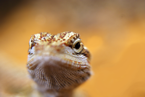 Bearded dragon. by fusecore