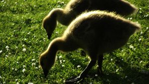 Goslings by graphic-rusty
