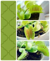 Venus Fly Trap by OneLifeRemaining