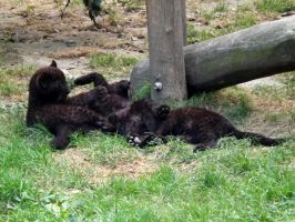 2014 - Black leopard cubs 1 by Lena-Panthera