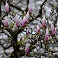 Magnolia by jynto