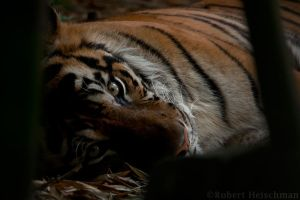 Shadow Tiger by robbobert