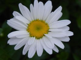 .a simple daisy by BiaJustMe