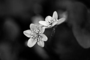 _Hepatica. by Bloddroppe-nature