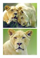 white lions by photoflacky