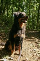 German Herding Dog in the Forest Stock by LuDa-Stock