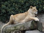 Lion by Horselover60-Stock