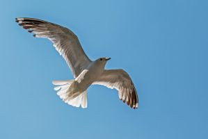 Nothing fancy. Just a seagull. by attomanen