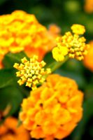 Yellow Gold by Adomius