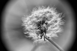 Macro HDR of a dandelion by AlexReedWhite