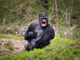 A tired gorilla by MCL28
