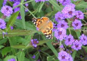Painted Lady by MaterialGurl15