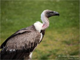Vulture IV by Idle-Emma