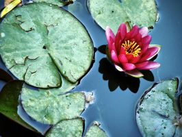 Water Lily by alimuse
