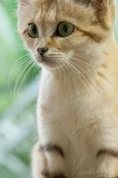Sand Cat #2 by vetchyKocour
