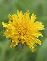 Another Dandelion by CherryCStaff