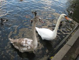 Swans by frisbystock