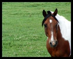 Stock Horse by ceaca