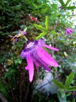 The passionflower by MetalCams