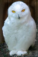 snow owl by brijome