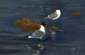 Franklin's Gull by aakritiarts