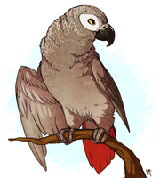 African Grey by Susiron
