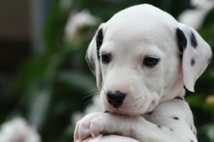 Dalmation Puppy 1 by Smartierocks