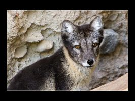 Arctic Fox by acojon