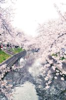 Bridge of Sakura by sahdesign