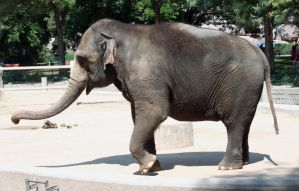 Denver Zoo 196 Elephant by Falln-Stock